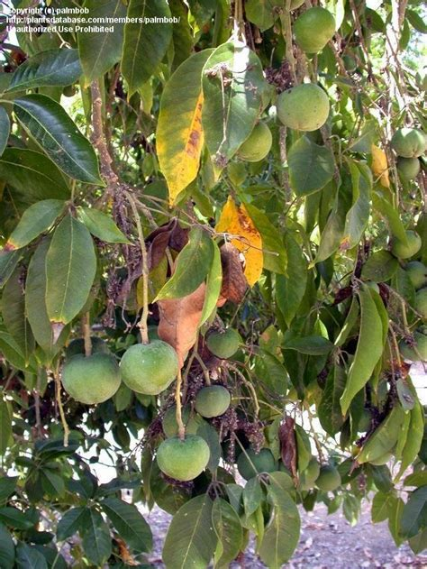 california tree fruit plantfiles pictures white sapote mexican apple