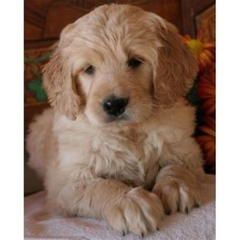 mini doodle rescue ontario goldendoodle breeders and kennels freedoglistings page 9