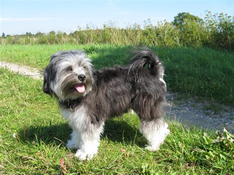 lowchen puppies lowchen breed guide learn about the lowchen
