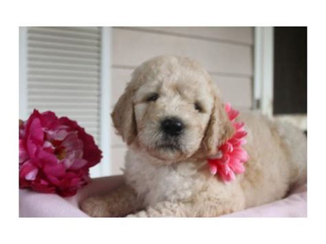 goldendoodle puppy denver f2 goldendoodle puppies denver classifieds