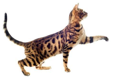 cat cat the bengal cat cat breeds encyclopedia