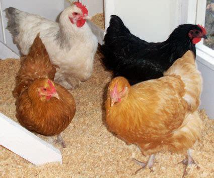 Backyard Chickens Egg Cartons The Egg Ashley80s Chicken Coop Backyard Chickens