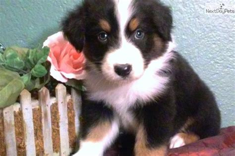 puppies for sale pittsburgh 37 best images about aussie dogs on aussie puppies toys and minnesota