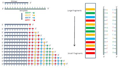 illumina sequencing principle sanger sequencing science sanger