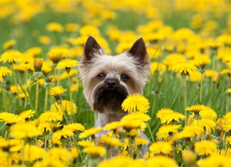 yorkie allergies treatment brevard aid to animals health care services