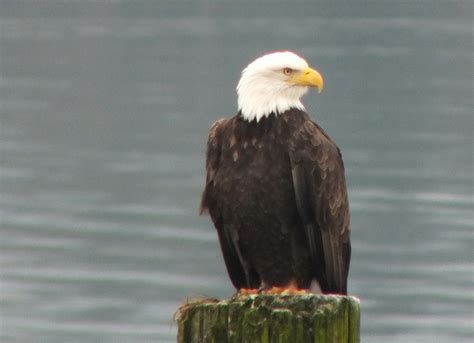 Respond To Bald Brit Madness by Bald Eagles Along The Shore Near Comox B C
