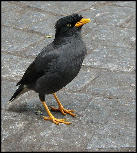 mynahs google search my mynah pinterest java and