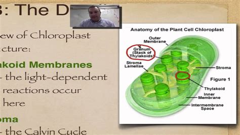 chapter 8 part 5 chloroplast structure youtube