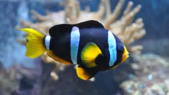 saltwater aquarium clownfish for sale