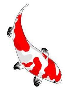 Bibit Ikan Koi Tegal koi at farm bali home