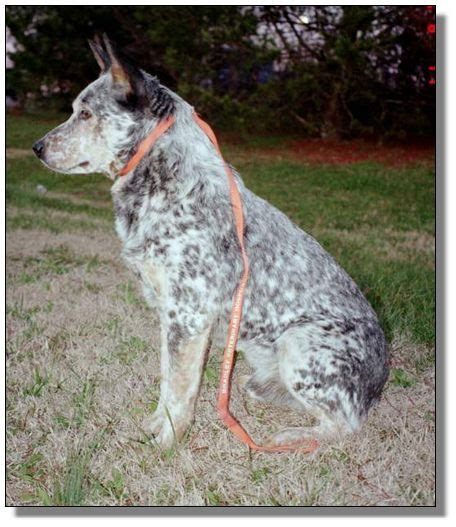 undocked australian shepherd puppies for sale dogs for sale american saddlebred horses at peavine creek farm