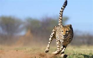 Fast Can Jaguar Run Cheetah Animals Wiki Pictures Stories