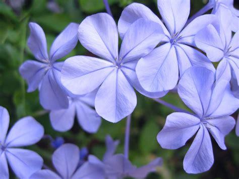 blue jasmine blue jasmine flower car interior design