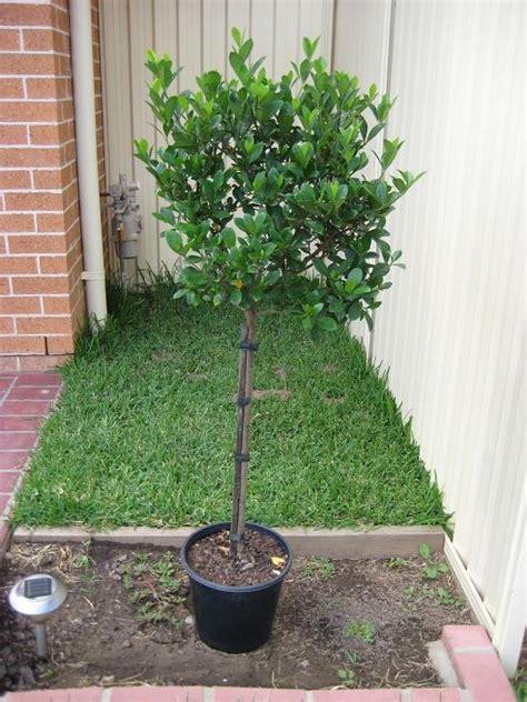 standard gardenia    pot garden solutions
