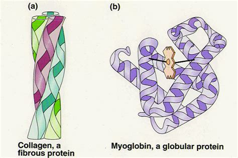 Collagen Biolo 14 globular and fibrous proteins haemoglobin and collagen biology notes for a level