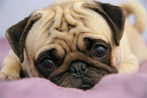 a picture of a pug pug puppy