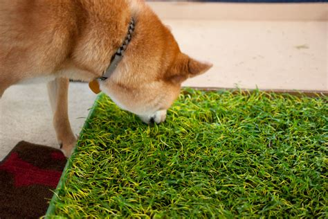 how to to use potty patch doggie lawn potty patch rigby reviews hello rigby