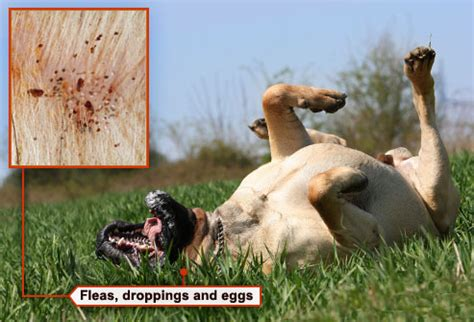 what to do for fleas on a puppy fleas ticks pets and what to do in pictures