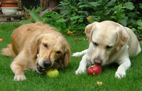 is it ok for dogs to eat apples can dogs eat bananas and apples famlii