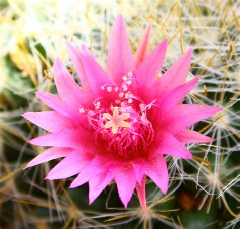 cactus fiori fiori piante grasse 12mq pagina 6