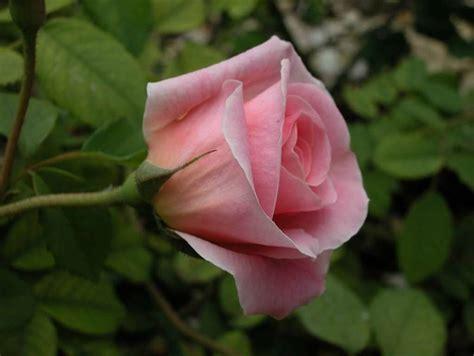 imagenes rosas con espinas imagenes de rosas con espinas imagui