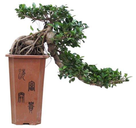 Bonsai Ficus Kaufen by Cascade Bonsai Ficus Florastore