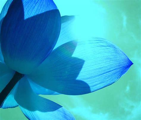 blue lotus flower high beautiful blue lotus flower petals photo dodds