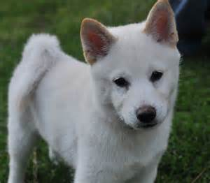 white wolf puppies pin white wolf puppies on