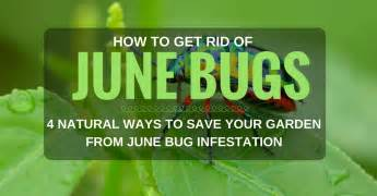 how to get rid of june bugs 4 ways to save your