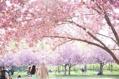 Botanical Garden Cherry Blossom Botanic Garden Engagement Photos Cherry Blossoms Leyla Beejan Raleigh And Nyc