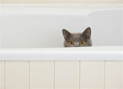 cat bathtub cat pooping in bathtub thriftyfun