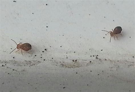 tiny bugs in bathroom springtails globular springtails what s that bug
