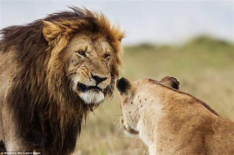when a lioness growls a s pride books hilarious photos showing lover s tiff at reserve in