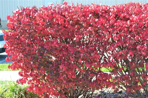 red leafed shrubs can add color and eye appeal to your home