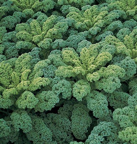 vegetables kale darkibor kale seeds