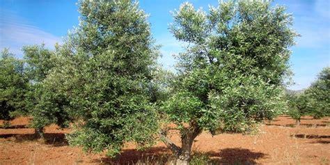 potatura olivo vaso policonico potatura olivo e corsi di potatura a vaso policonico