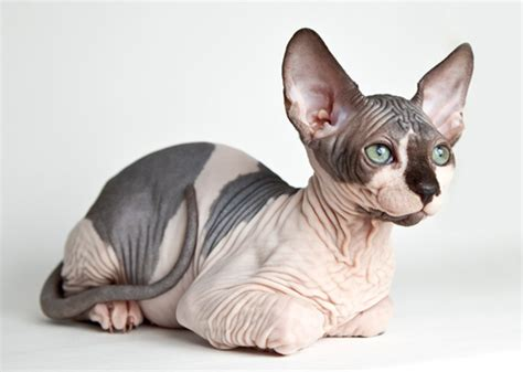 with no hair breeds of dogs and cats with no hair