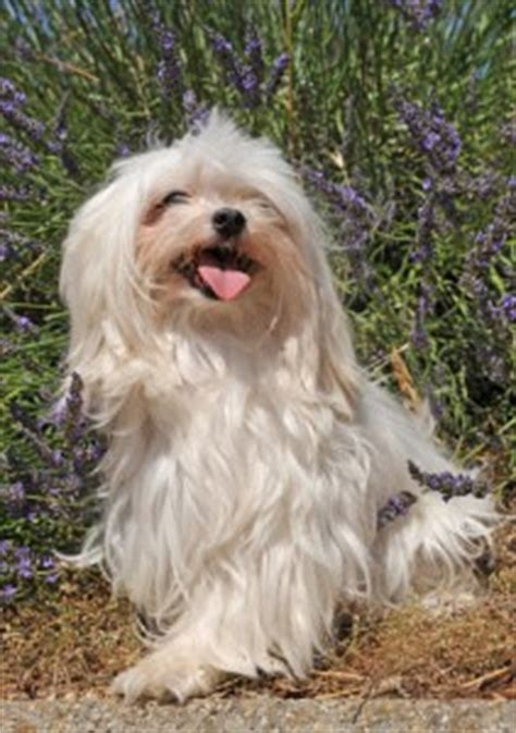 Do Maltese Dogs Shed Hair by Facts About Birds Dogs That Do Not Shed