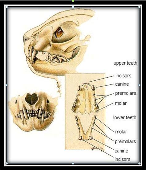 cat teeth diagram designeranimals2011 siberian tiger