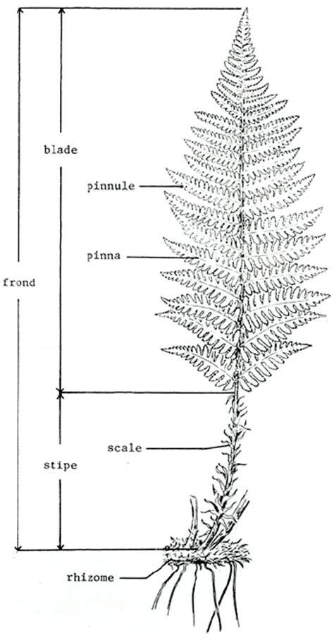 diagram of a fern field guide to forest plants of northern idaho fern parts