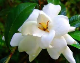 gardenia flowers flowers for flower lovers gardenia flowers