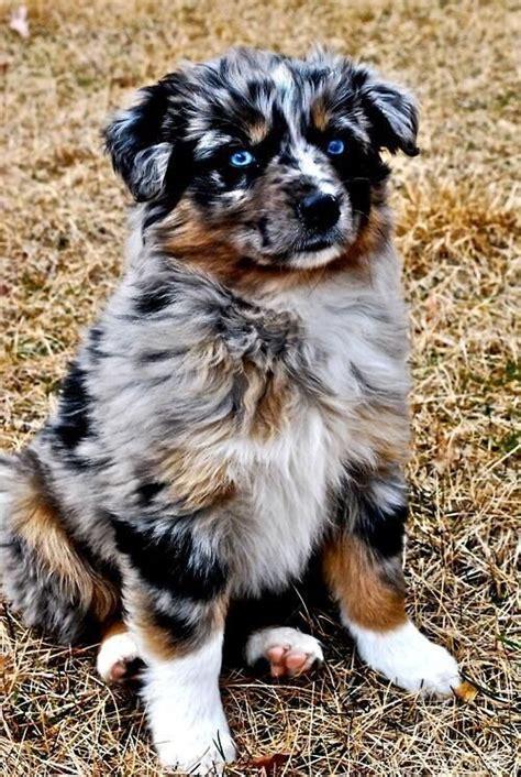 Do Australian Sheep Dogs Shed by Beautiful Australian Shepherd Puppy Pups Beautiful Hunde Und Australischer