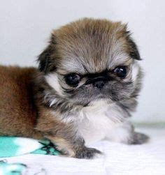 pekingese puppies for sale in nc 1000 images about pekingese on pekingese puppies pekingese dogs