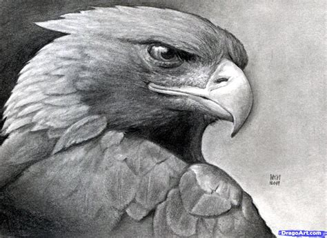 Drawing Realistic by How To Draw A Realistic Eagle Golden Eagle Step By Step