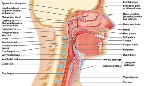 diagram of sinus cavity printable nose diagram diagram site nasal cavity diagram