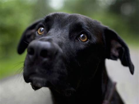 plott puppies black plott hound photo and wallpaper beautiful black plott hound pictures