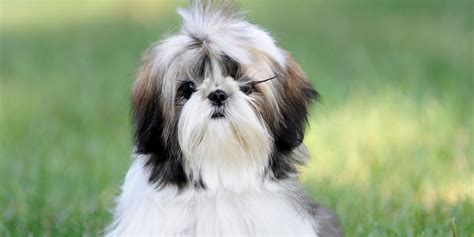 average size shih tzu shih tzu information characteristics facts names