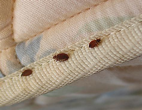 can bed bugs live on you bed bugs what kind of pests they are and how to get rid
