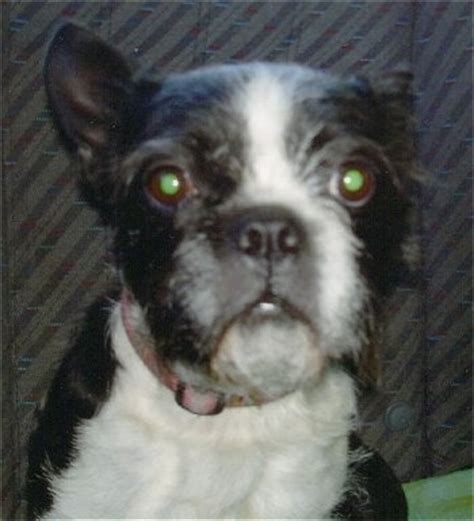 boston terrier and shih tzu boshih breed information and pictures
