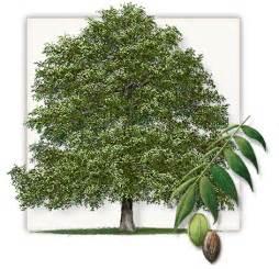 pecan trees dallas fannin pecan tree farm frisco tx